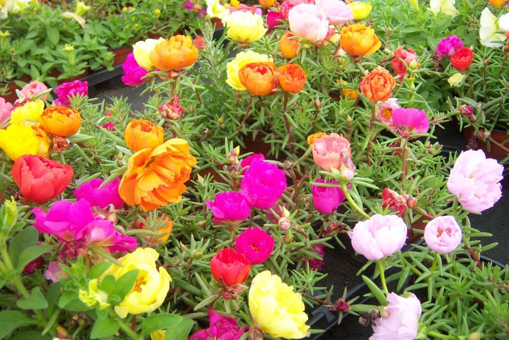 Bloeiende Vetplanten Voor Buiten.Portulaca Grandiflora Margarita